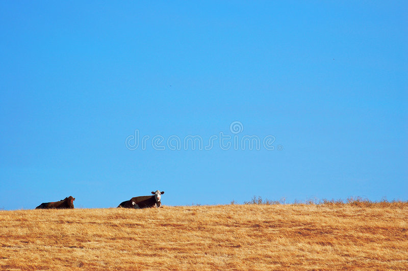Download Koeien op een Gebied stock foto. Afbeelding bestaande uit weiland - 291120
