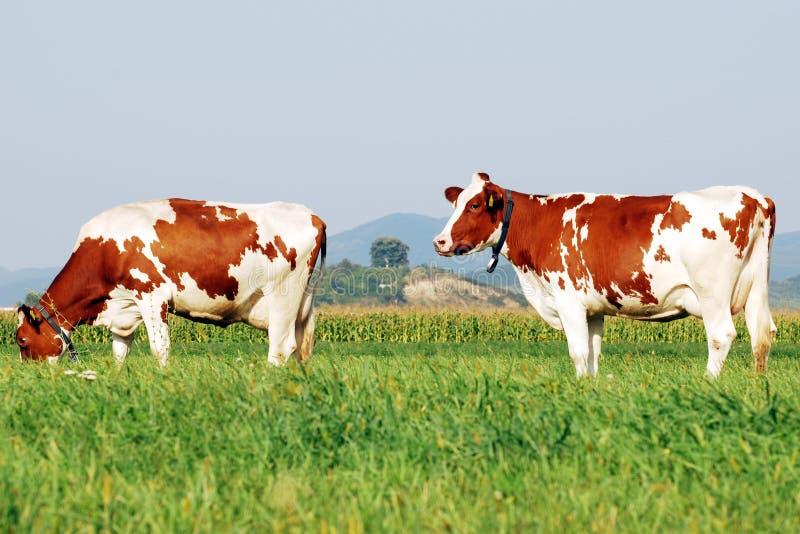 Koeien op een gebied royalty-vrije stock afbeelding