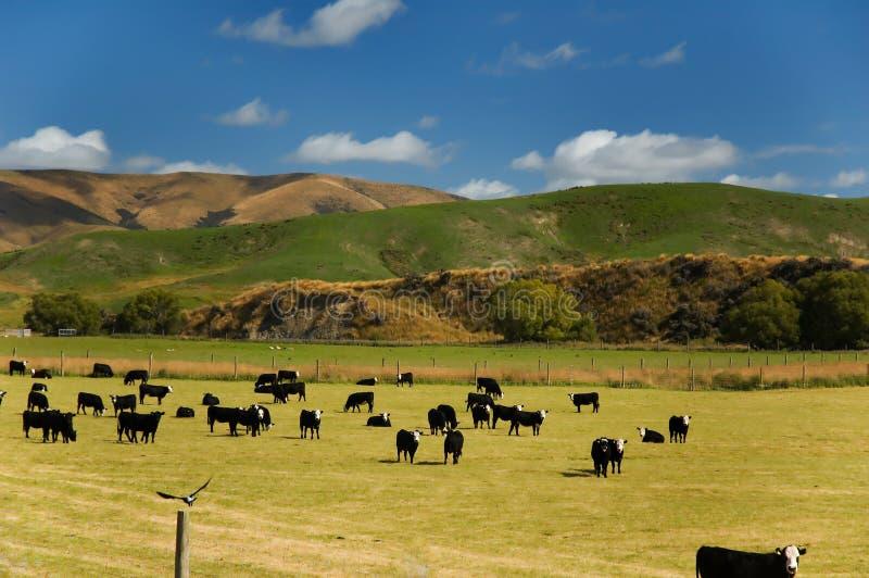 Koeien op een gebied met een vogel royalty-vrije stock fotografie