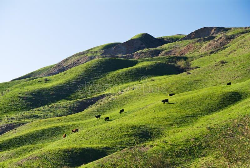 Koeien op een heuvel stock foto