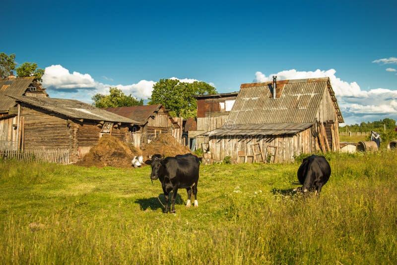 Koeien op een landbouwbedrijf royalty-vrije stock foto