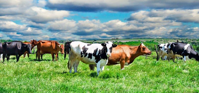 Koeien op een weiland stock foto