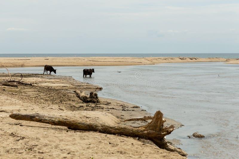 Koeien op een zandig strand stock foto's