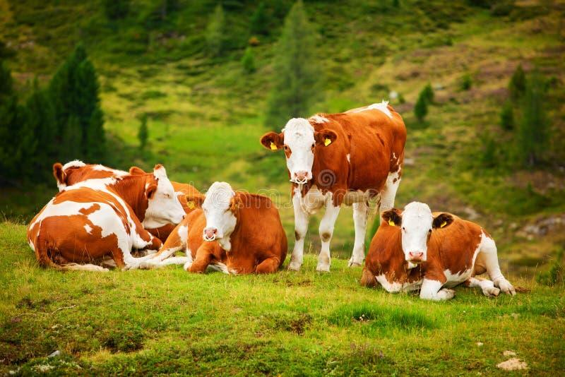 Koeien op gebied stock afbeelding