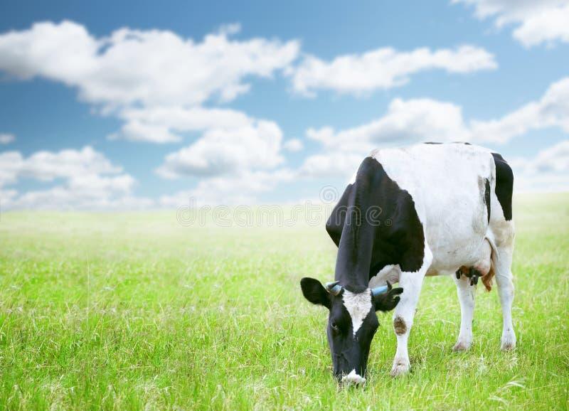 Koeien op groen gebied stock afbeelding