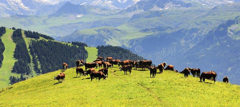 Koeien op groene weide stock afbeeldingen