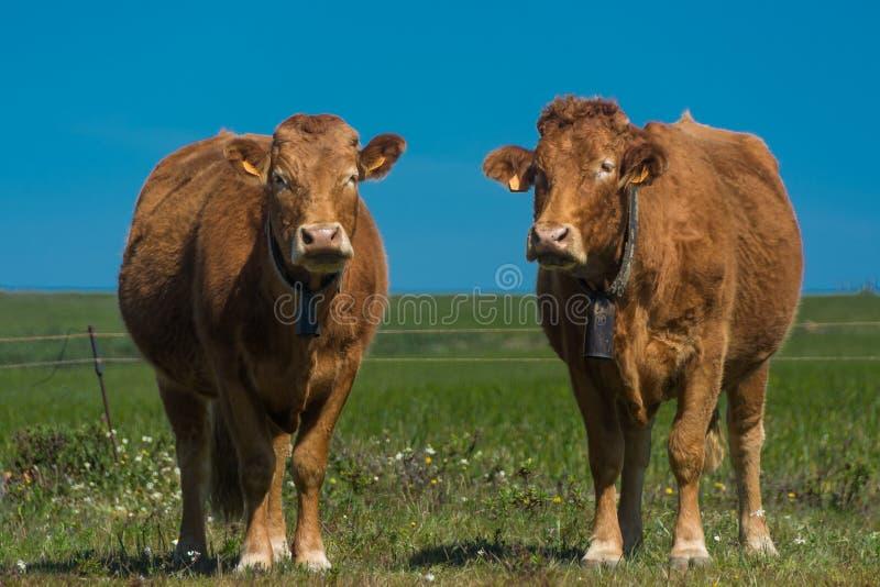 Koeien op het gebied royalty-vrije stock foto