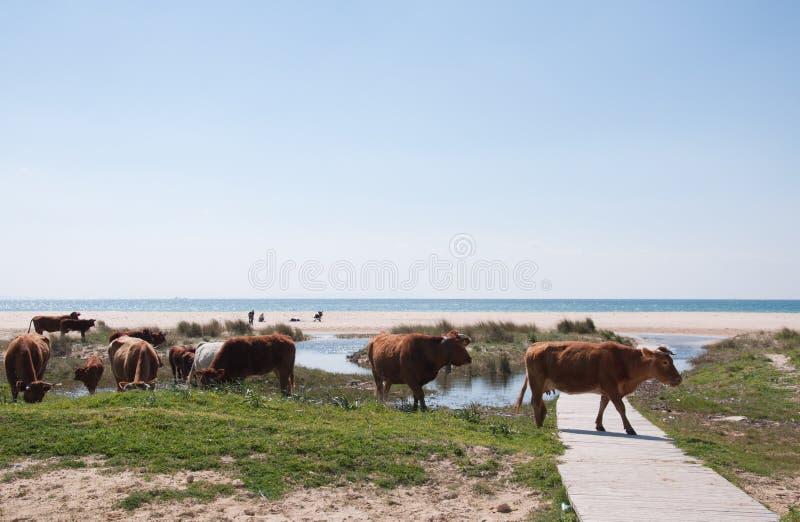 Koeien op het strand stock foto's