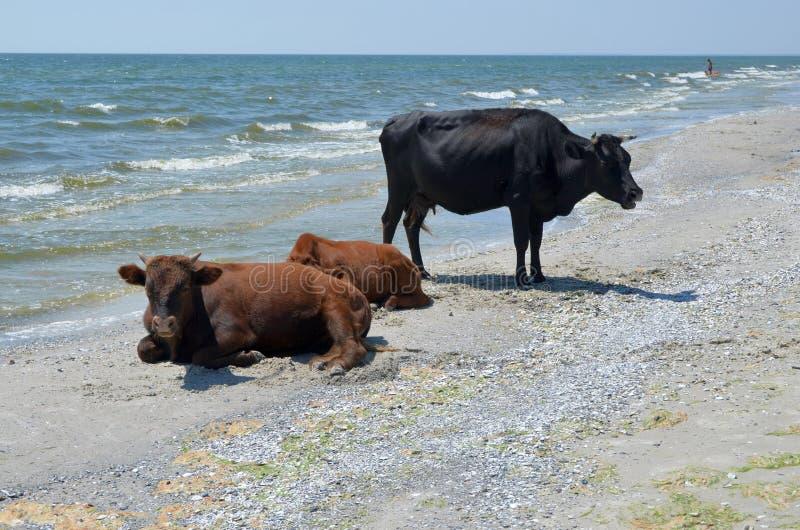 Koeien op het strand stock foto