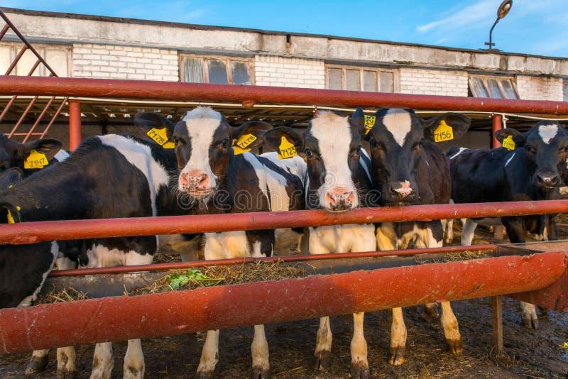 Koeien op Landbouwbedrijf royalty-vrije stock afbeeldingen