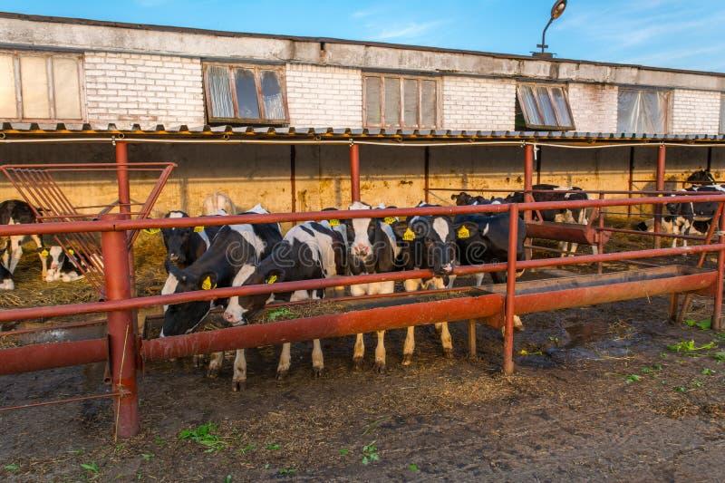 Koeien op Landbouwbedrijf royalty-vrije stock foto's