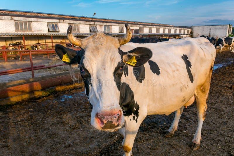 Koeien op Landbouwbedrijf stock fotografie