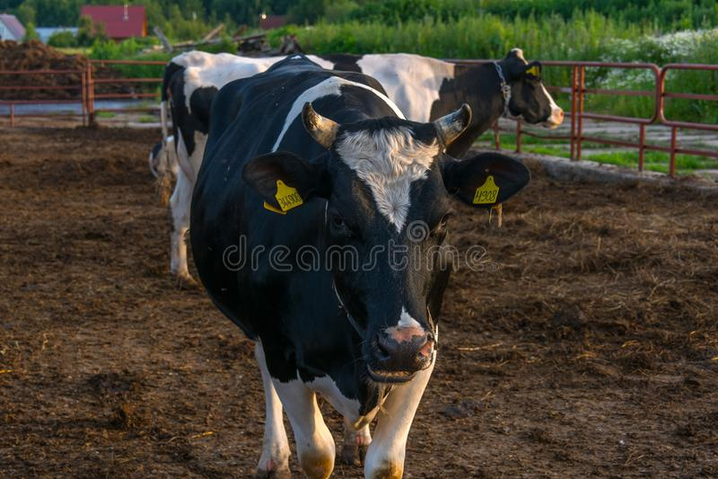 Koeien op Landbouwbedrijf royalty-vrije stock foto
