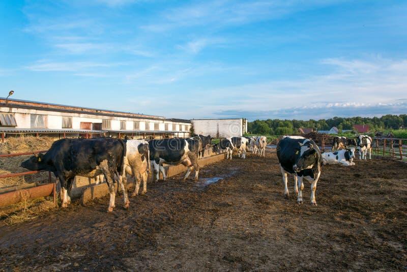 Koeien op Landbouwbedrijf stock afbeelding