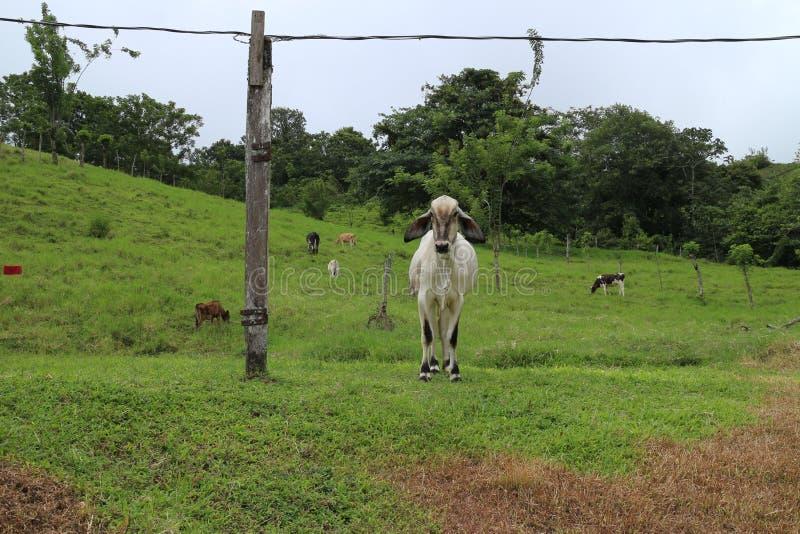 Koeien op landbouwbedrijf het lopen royalty-vrije stock afbeelding