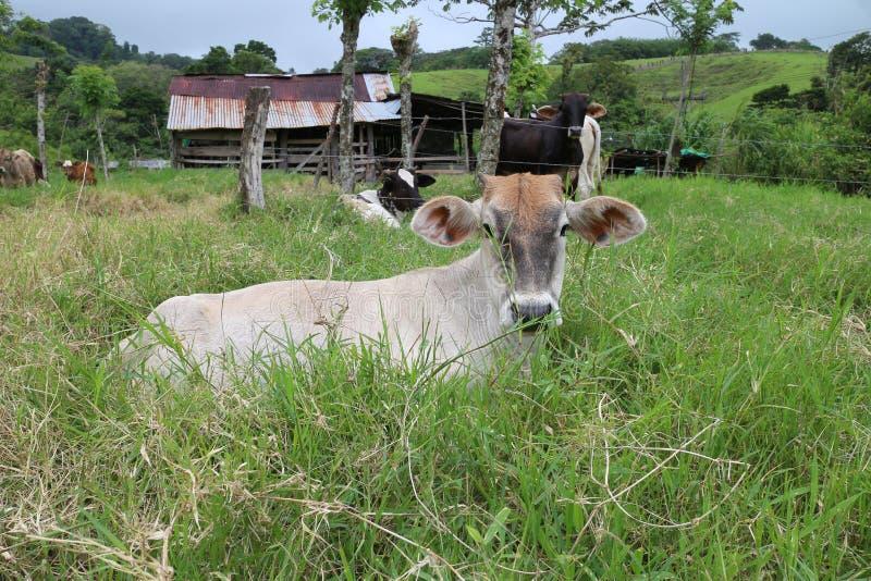 Koeien op landbouwbedrijf het rusten stock fotografie