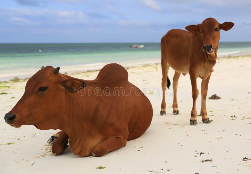Koeien op oceaanstrand royalty-vrije stock foto