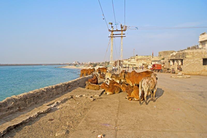 Koeien op Porbandar-dijk stock fotografie