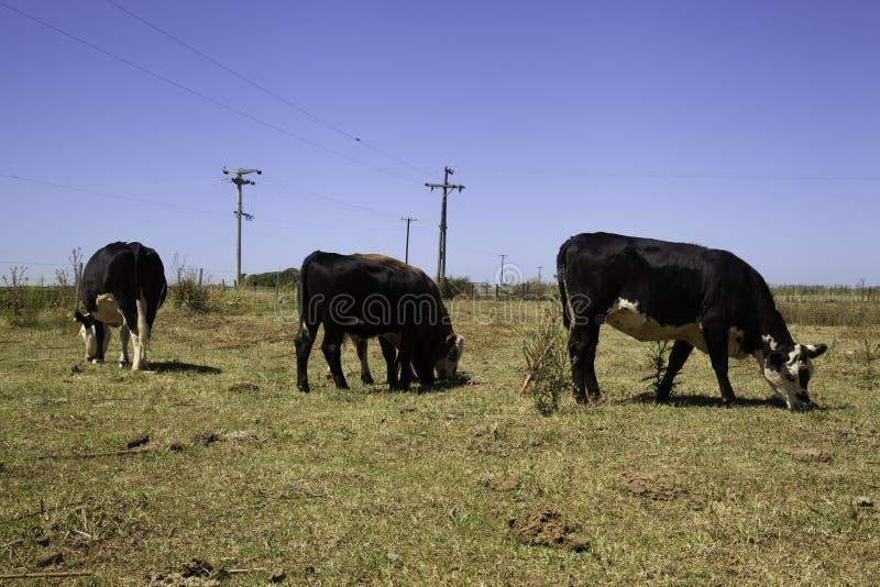 Koeien op prairie stock afbeelding