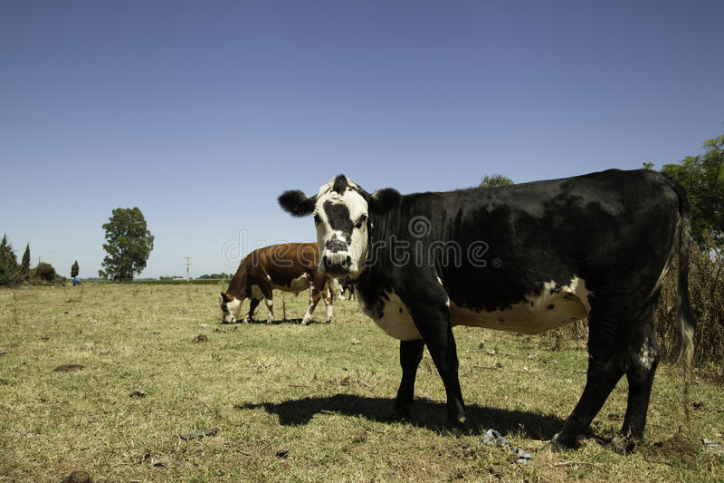 Koeien op prairie royalty-vrije stock foto's