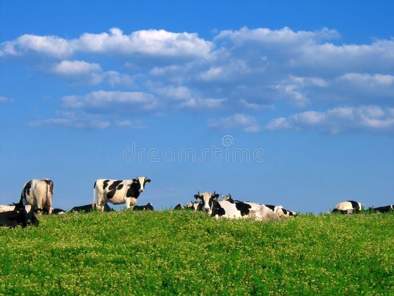 Koeien Op Weiland Stock Afbeeldingen
