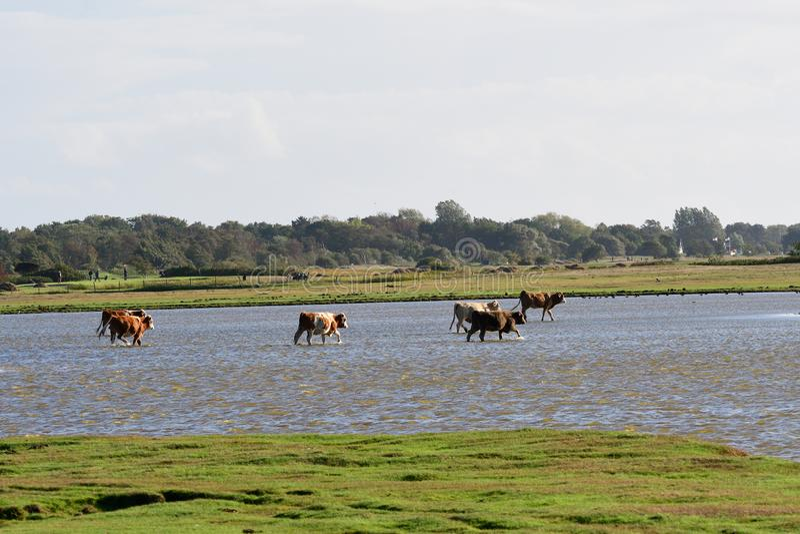 Koeien op zoute moerassen royalty-vrije stock foto's