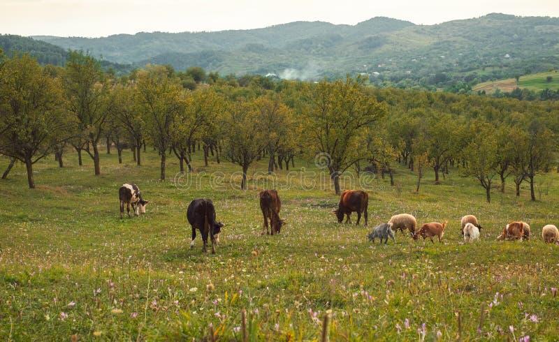 Koeien, sheeps en geiten het weiden royalty-vrije stock foto