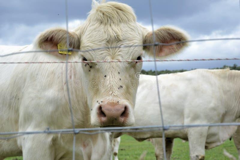 Koeien, stieren en kalveren die op weiland op een boerderij weiden Veevoer op traditioneel landelijk boerenerf, Slowakije stock foto