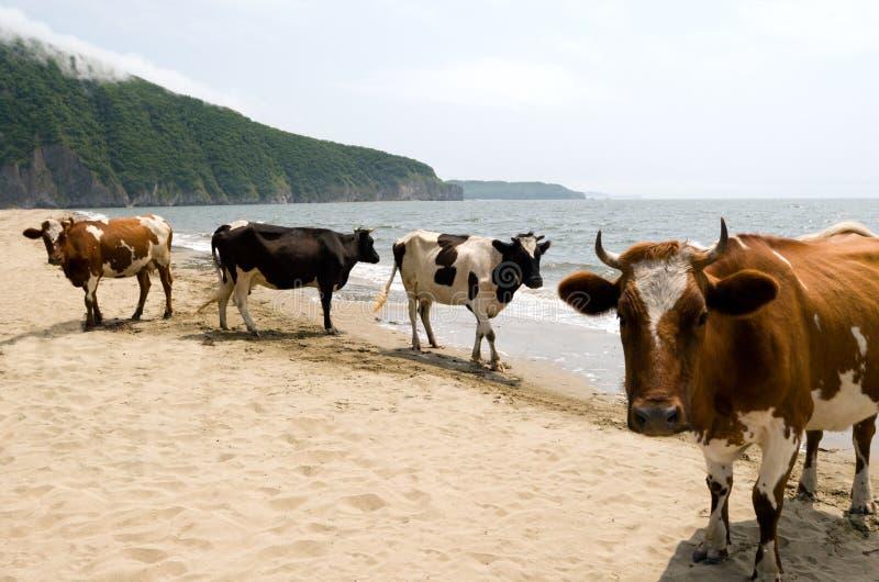 Koeien. strand royalty-vrije stock afbeeldingen