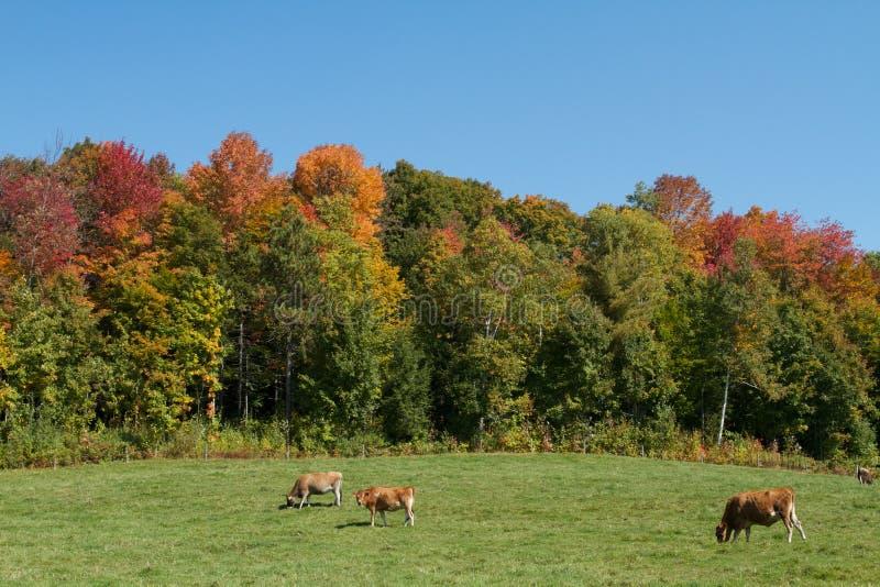 Koeien in Vermont stock afbeelding