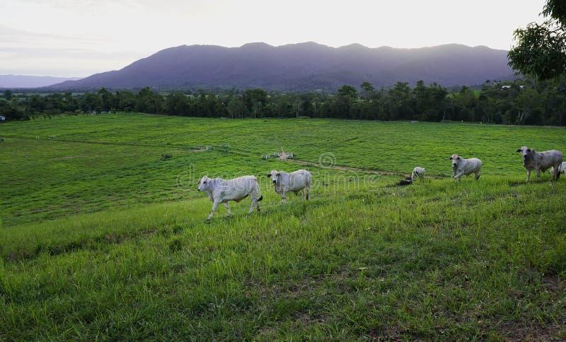 Koeien in weelderige groene paddocks stock afbeelding