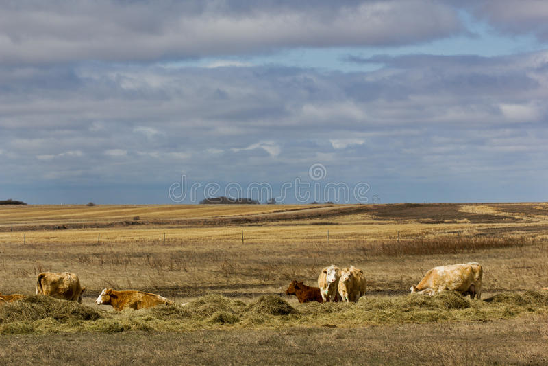 Koeien in zonneschijn stock afbeelding