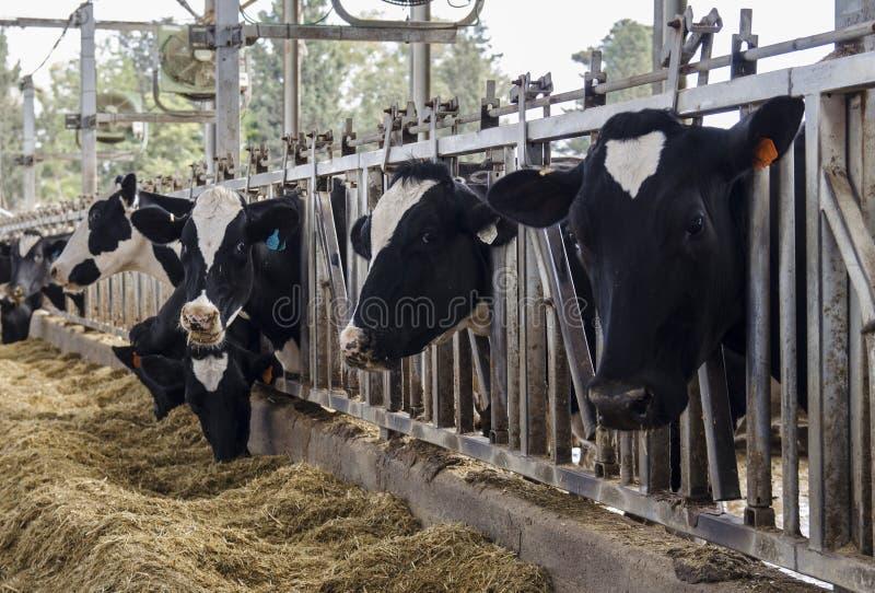 Koeien in zuivelschuur royalty-vrije stock fotografie