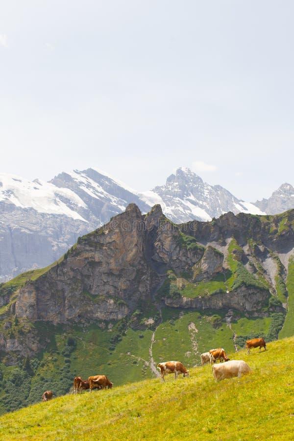 Koeien in Zwitserland stock foto's