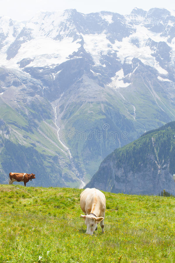 Koeien in Zwitserland royalty-vrije stock fotografie