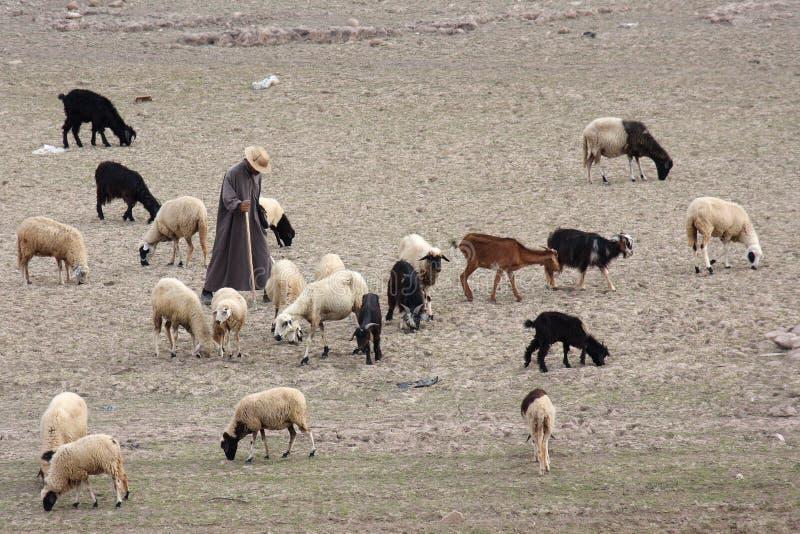 Koeienhoeder stock afbeelding