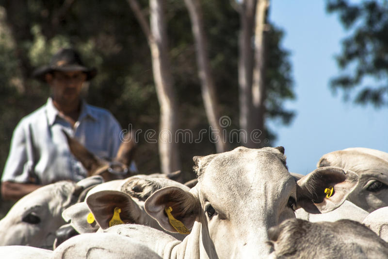 koeienhoeder royalty-vrije stock afbeeldingen