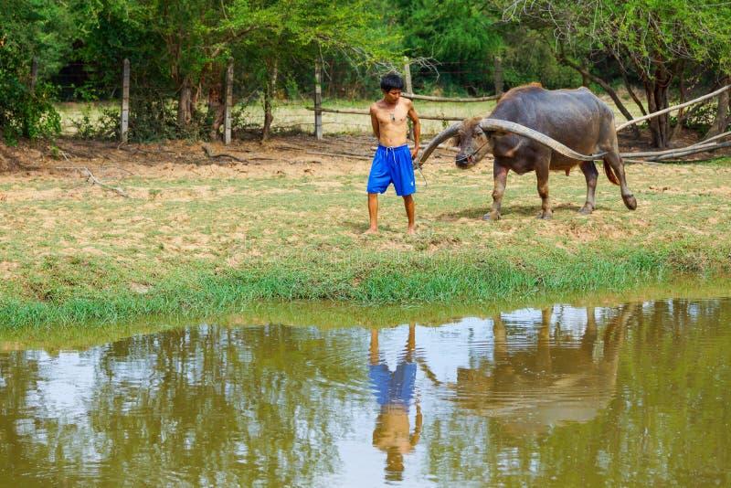 Koeienhoeder zonder overhemd die buffels trekken stock afbeelding