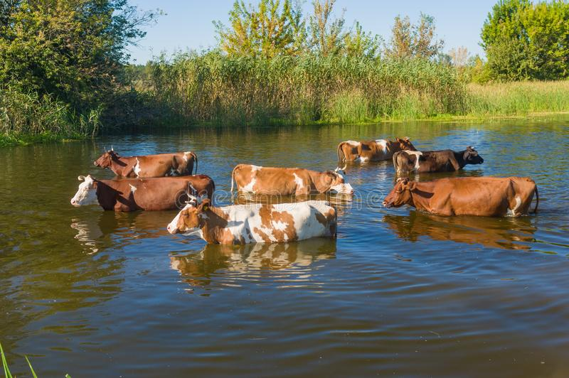 Koekudde die waterbehandeling in Oekraïense rivier Merla hebben stock afbeelding