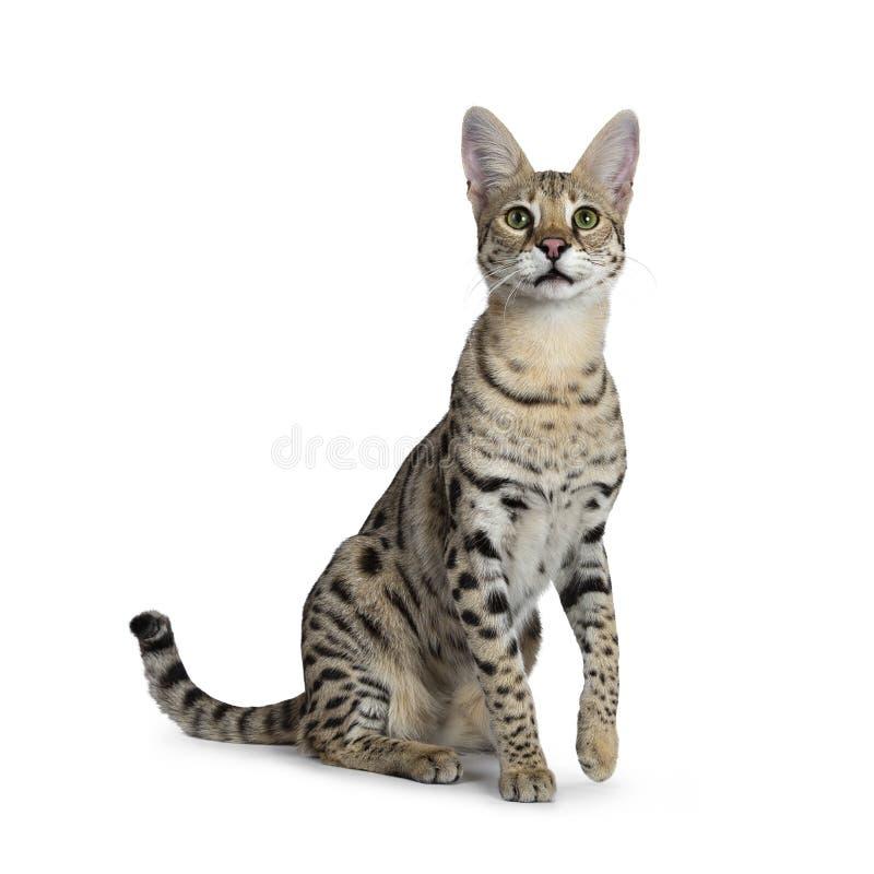 Koele jonge volwassen die Savannef1 kat, op witte achtergrond wordt geïsoleerd royalty-vrije stock foto