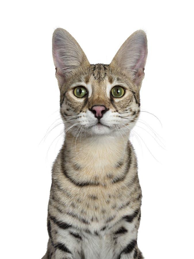 Koele jonge volwassen die Savannef1 kat, op witte achtergrond wordt geïsoleerd royalty-vrije stock fotografie