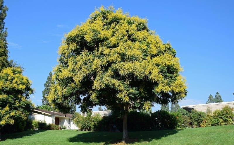 Koelreuteria paniculata or Goldenrain tree. royalty free stock images