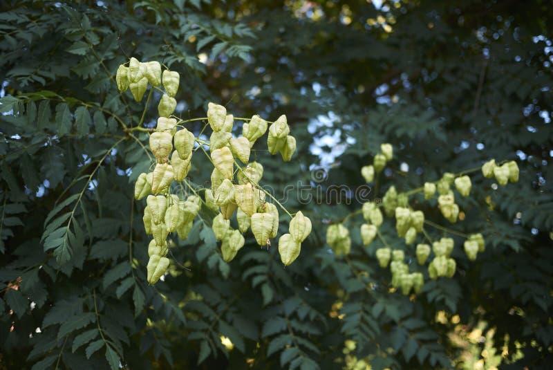 Koelreuteria-paniculata Niederlassungsabschluß oben stockbild
