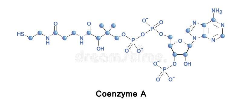 Koenzymu A citric kwasu cykl ilustracja wektor