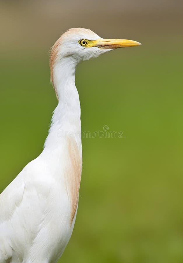 Koereiger, Egret скотин, Bubulcus ibis стоковое фото rf