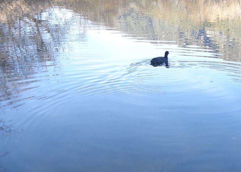 Koet, americana Fulica die, over een Stille Vijver zwemmen stock afbeelding