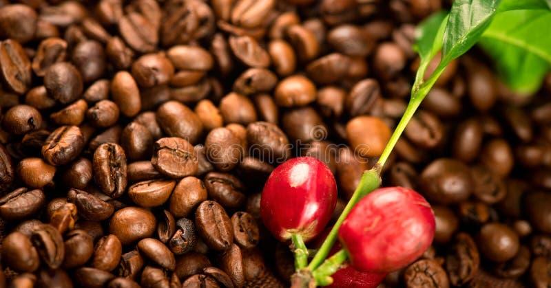 Koffie Echte koffieinstallatie op geroosterde koffieachtergrond stock foto's