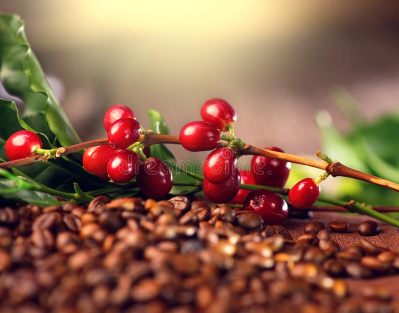 Koffie Echte koffieinstallatie op geroosterde koffieachtergrond royalty-vrije stock fotografie