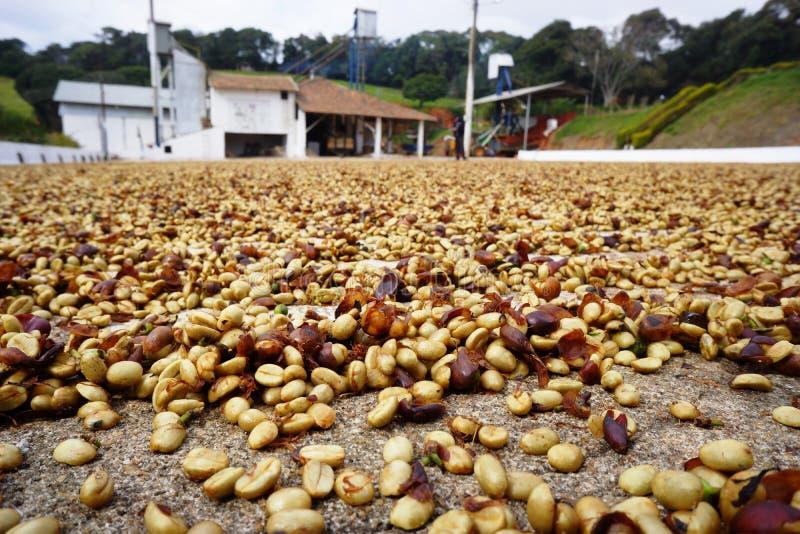Koffie van Brazilië in de drogende werf stock foto's
