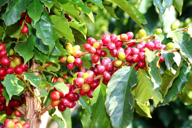 Koffieaanplanting royalty-vrije stock foto